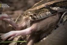 صورة صيادو الأفاعي HD : أناكوندا الأمازون
