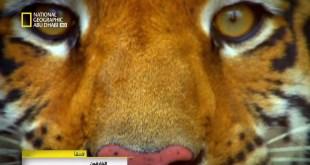 نادي قتال الحيوانات HD : الكنغر و النمر والأخطبوط