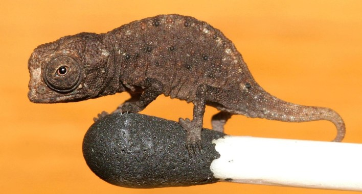 حرباء من نوع Brookesia micra (بروكيشا مايكرا) وهو أصغر نوع من الحرابي معروف في العالم