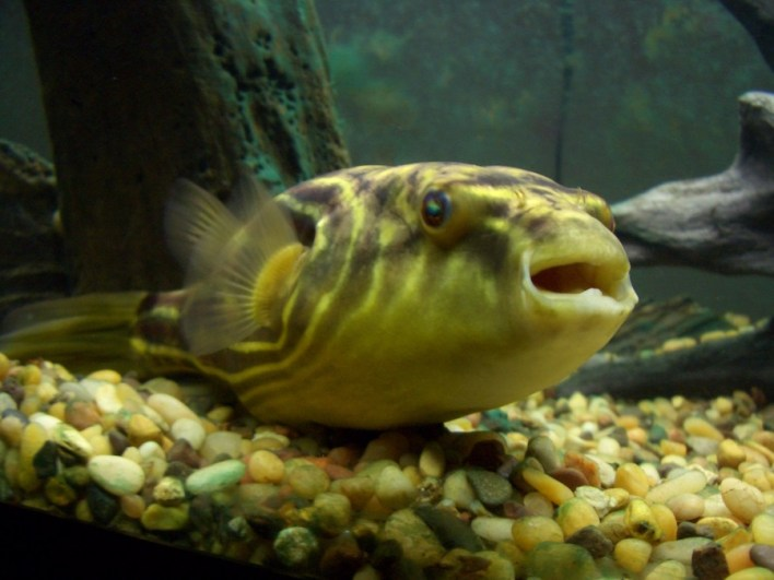 السمك الكروي و يعرف أيضا بالينفوخ