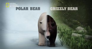 في سبيل الاكتشاف HD : الدب القطبي يواجه دب الجريزلي