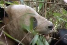 صورة وجهات برية HD : الباندا العمالقة