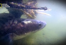 صورة أسماك مخيفة HD : سمكة الفرانكن