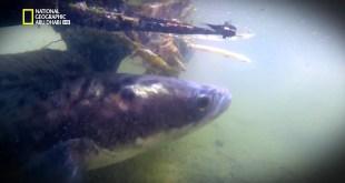 أسماك مخيفة HD : سمكة الفرانكن