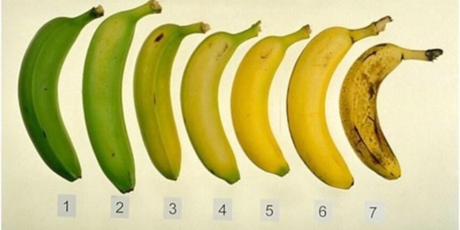 مقال - الموز الناضج أم الموز غير الناضج .. أيهما الأفضل؟