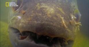 أسماك مخيفة HD : الذئب النهري