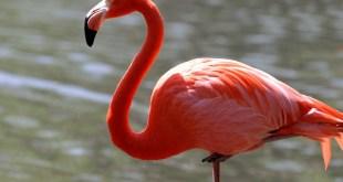 مقال – لماذا طيور الفلامينغو تقف على ساق واحدة؟
