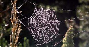 مقال - حرير العنكبوت .. واستخدامات لا تخطر في البال