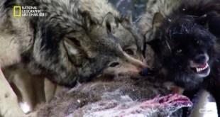 نادي قتال الحيوانات موسم 3 ح6 : مواجهات خطيرة