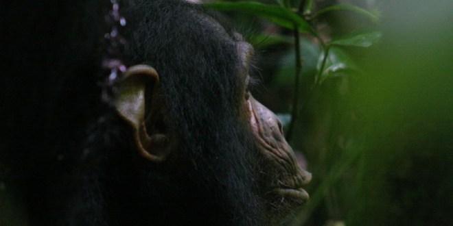 """دراسة تكشف قدرات الشمبانزي """"الإنسانية"""""""