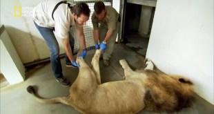 المهن الخطيرة ح2 : طبيب أسنان الأسد