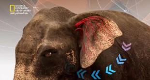 عالم الحيوانات المذهل - أورانج أوتان و الفيل