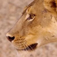 حيوانات أفريقيا المفترسة : توأم الأسود