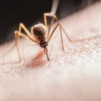 مقال – لماذا يختار البعوض لسع بعض الناس أكثر من غيرهم؟