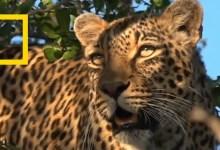 صورة اسبوع القطط الكبيرة : مملكة الفهود
