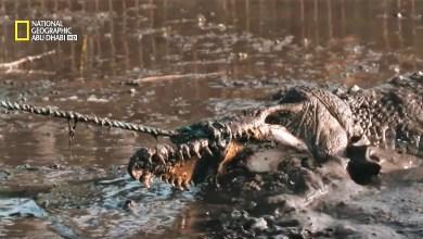 صائد التماسيح المتوحشة : التمساح خارج الماء