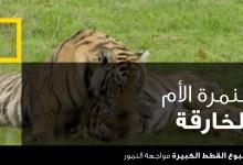 صورة اسبوع القطط الكبيرة : مواجهة النمور