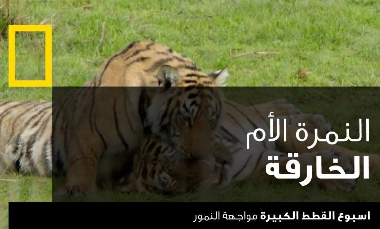 اسبوع القطط الكبيرة : مواجهة النمور