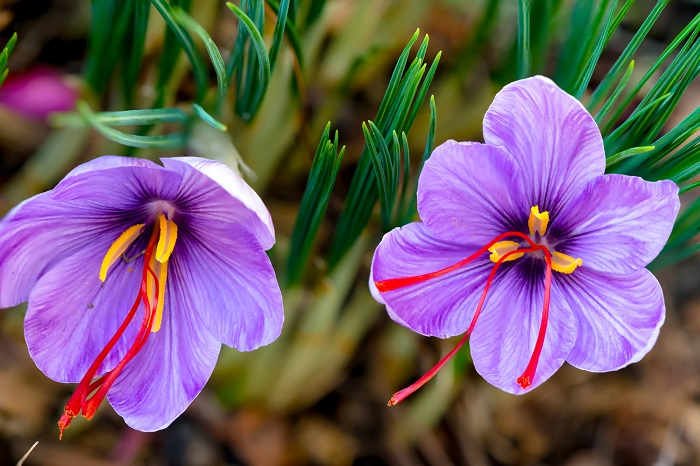 زهرة الزعفران البنفسجية