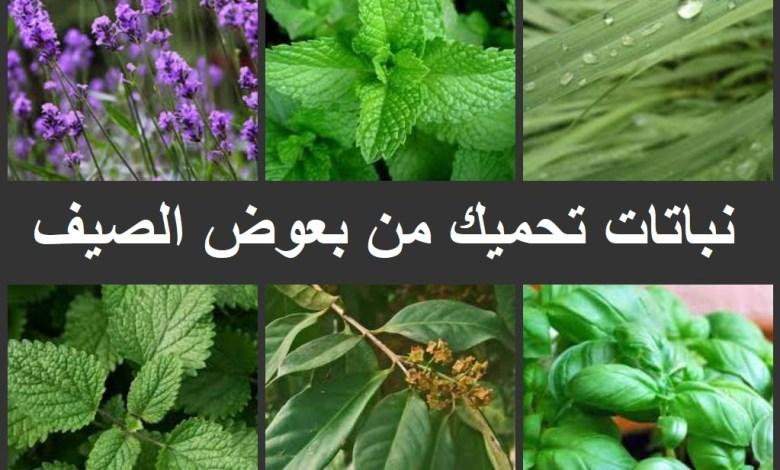 6 نباتات تحميك من بعوض الصيف