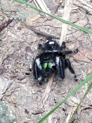 Phidippus from Lake Tawakoni, TX