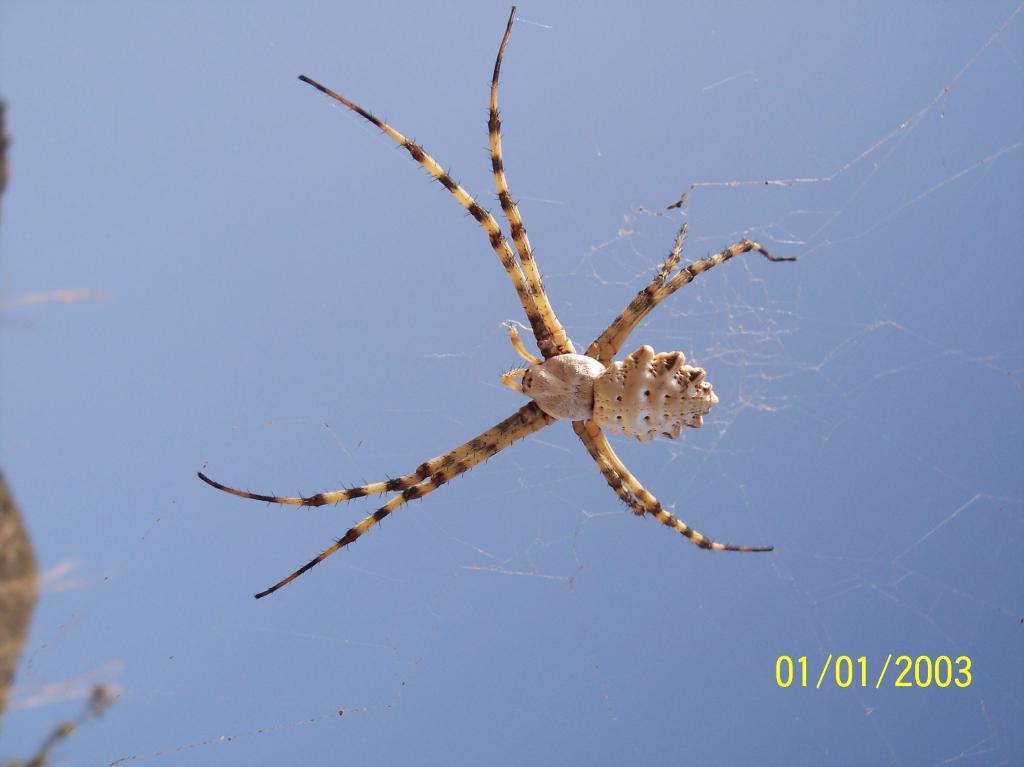 unknown spanish spider arachnoboards