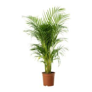 chrysalidocarpus-lutescens-plante-en-pot__67424_pe181267_s4