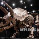 Pemandangan umum kerangka fosil dinosaurus Triceratops di rumah lelang Drouot di Paris, Prancis, Kamis (21/10/2021). Kerangka Triceratops, dinosaurus berusia lebih dari 66 juta tahun, dijuluki