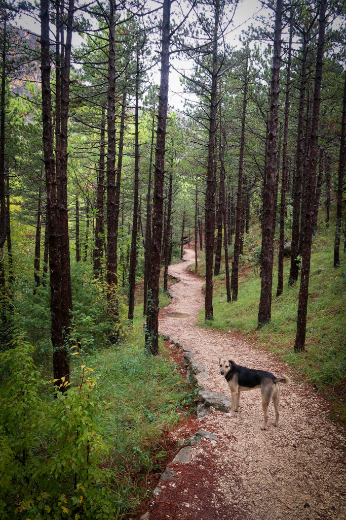 A Paklenica National Park hiking trail winds through a black pine forest. A stray dog stands on the trail.
