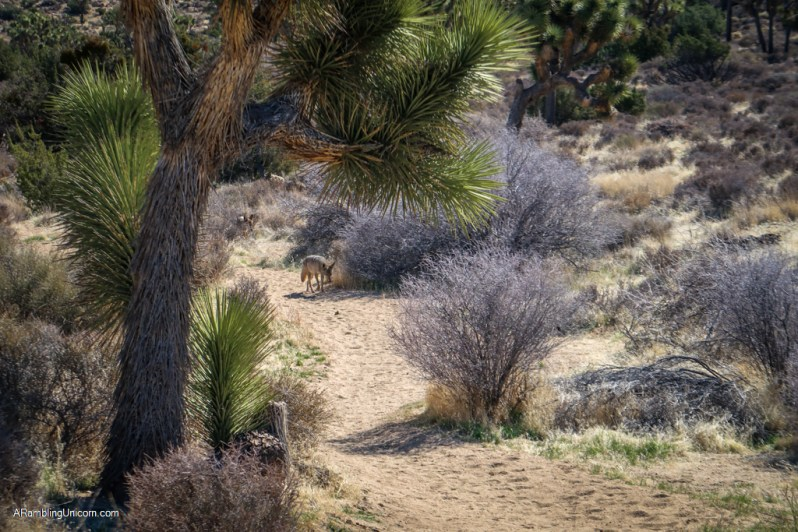 Coyote on the trail in Joshua Tree National Park