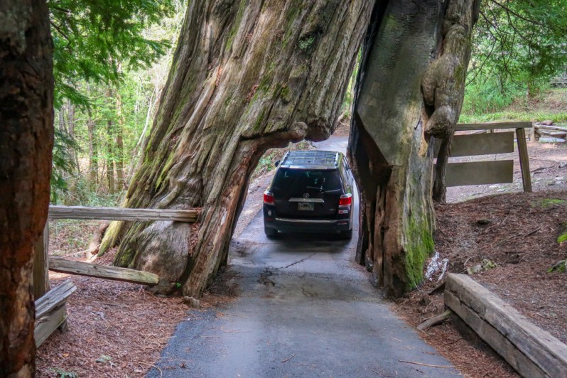 An SUV drives through a paved tunnel carved out of a giant redwood tree at the Shrine Drive-Thru Tree Auto Park