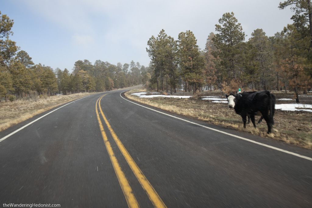 A cow stands about a foot away from the edge of the Vermillion Cliffs Scenic Highway as it heads through the Kaibab National Forest. Patches of snow are on the ground.