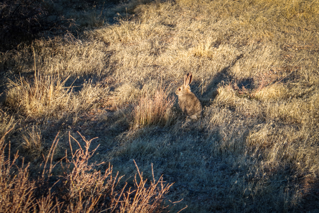 A rabbit nearly camouflaged with the dry yellow grass near Upper Covington Flats