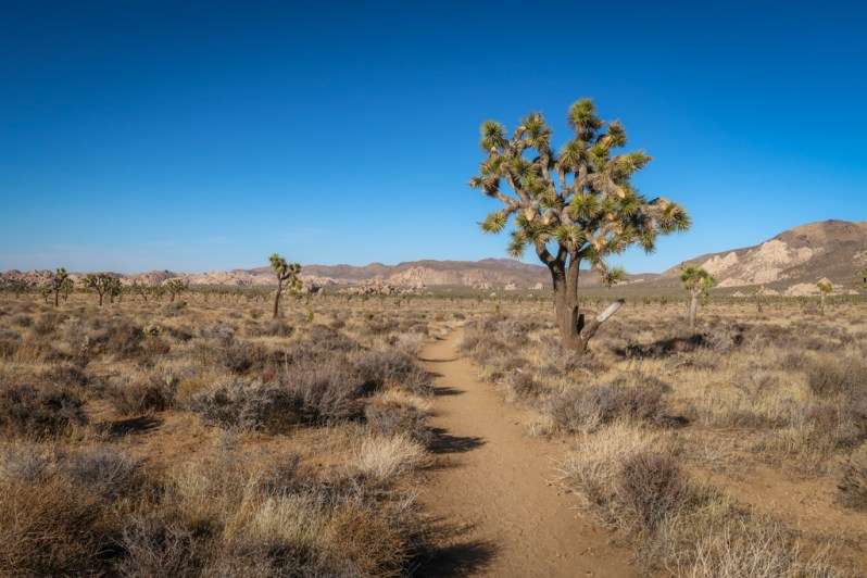 Hiking path approaching the Juniper Flats area flanked by Joshua Trees with mountains in the distance