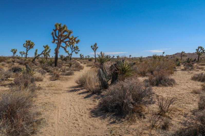 Joshua Trees line the California Riding and Hiking Trail on the way to Twin Tanks