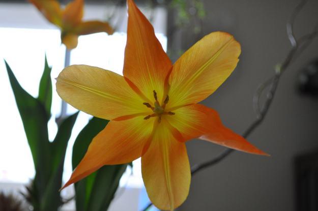 今日の花「チューリップ」|実らぬ恋」。。。の花
