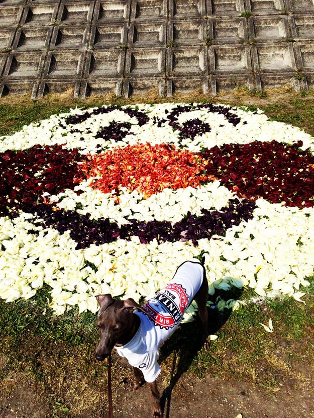 1111匹の鯉のぼりに驚くイタグレBuono! 5月5日は子供の日