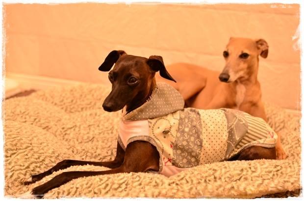 「お客様からのメッセージ」美女美男でビックリ!これぞ、TEH Italian Greyhound