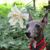 「お客様からのメッセージ」たくさんのお花に包まれる可憐なItalian Greyhound♪