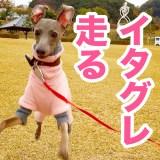 脚の骨折から一年、元気いっぱい走り回るイタグレBuono!【YouTube|動画】