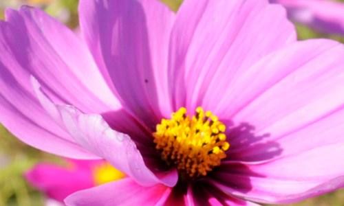 【あわじ花さじき】愛犬と行くお花畑|青い空、青い海。大阪湾を一望