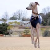 「犬服」アルファベットカジュアルスポーツの製作風景