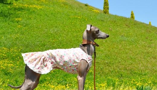 6月の犬服「イタグレ/ミニピン/ウィペット/サルーキーなど」