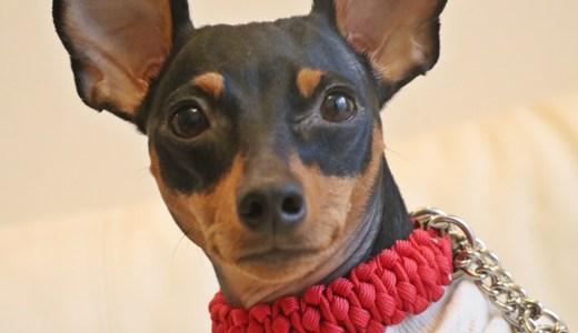 ミニピン首輪:首輪とリードを通して散歩中に大切な愛犬と手をつなぐ「SakuraCordage」