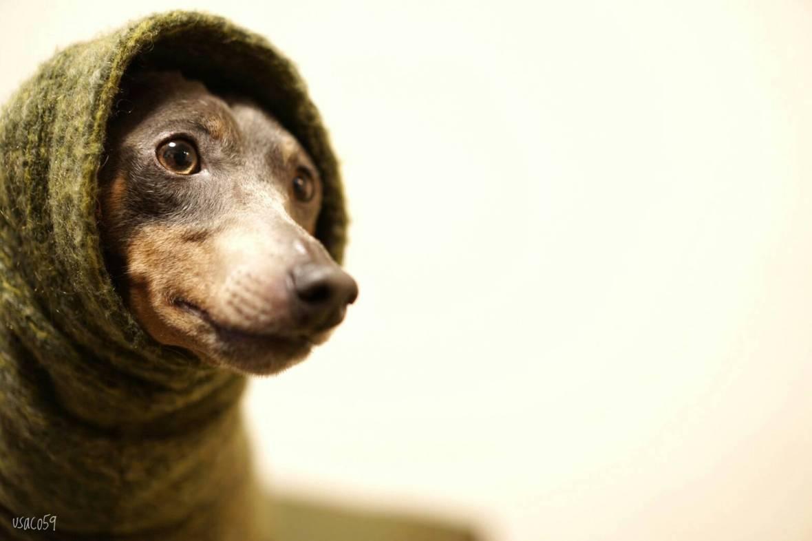 犬服のサイズ感が解りやすい「4枚の写真」をミニピンの碧☆が再現してくれた。「滑稽な風情」に家族の日常が伝わってくる。