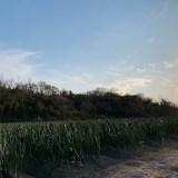 淡路島は玉ねぎの収穫の季節です