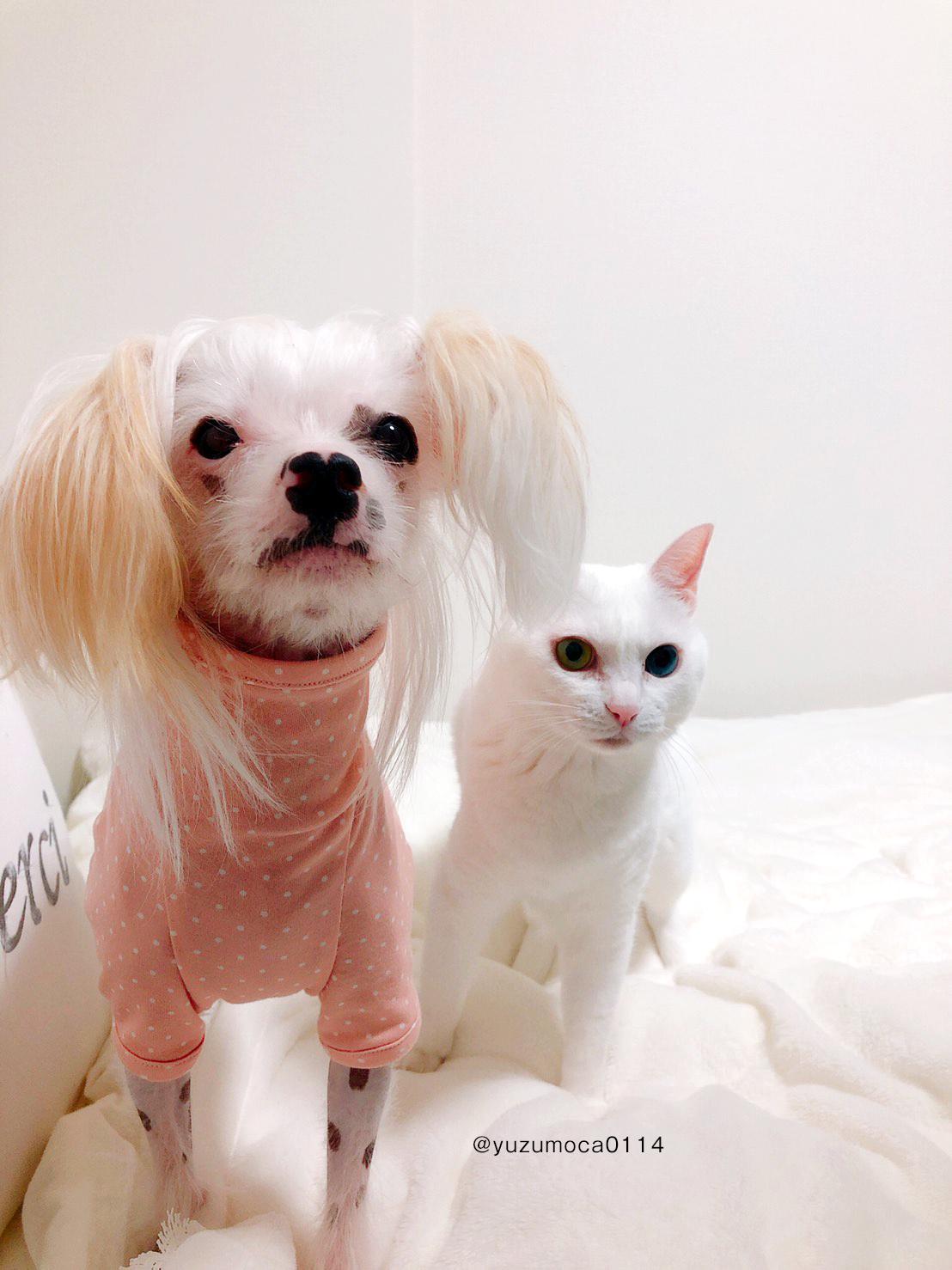 チャイクレは皮膚がデリケートなので体型を意識しながら犬服を製作しました|イタグレ服、ミニピン服、ウィペット服、サルーキ服などをハンドメイドで製作しています。愛犬に合ったサイズに調整するだけでなく、愛犬の個性や特徴に合わせてお洋服のデザインを決める事ができるお店です。