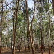 eucalyptus-trees-239509_640
