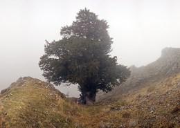 Tejo de Anguiano entre la niebla. Foto,:http://sendasypaisajes.blogspot.com.es/2012/01/tejo-milenario-de-anguiano.html