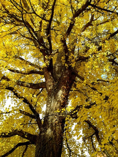 Gingko tree with yellow fall foliage